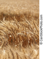 Wheat Grain Harvest - Close up of ripe, amber wheat seed...