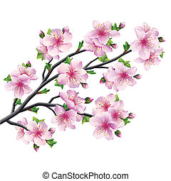 Japanese tree sakura, cherry blossom isolated - Japanese...