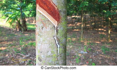 Rubber tree - Tapping latex from a rubber tree in Thailand :...