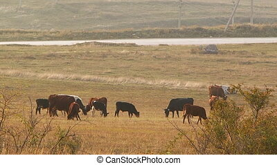 Herd of cattle - Cows grassing in a field