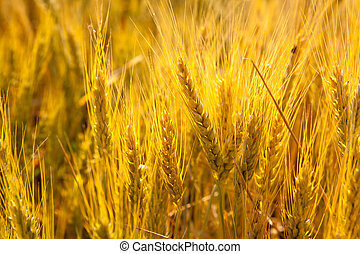 Wheat spikes in golden field with cereal