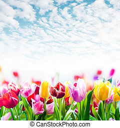 Field of colourful tulips under a beautiful sky - Field of...