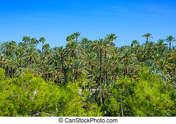 Elche Elx Alicante el Palmeral with many palm trees - Elche...
