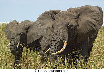 Safari - Two young elephants in the tall grass