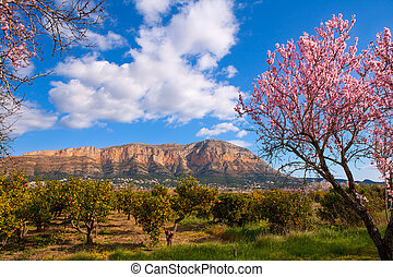 Mongo in Denia Javea in spring with almond tree flowers...