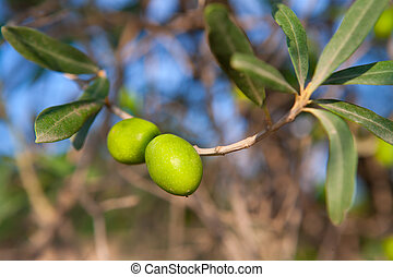 Olive tree with two olives in a branch
