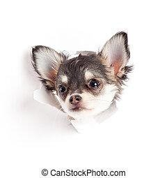 Chihuahua, perrito, papel
