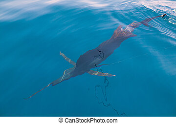 Sailfish sportfishing close to the boat with fishing line...