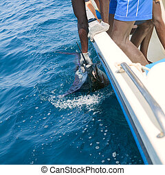 Sailfish catch billfish sportfishing holding bill with hands...