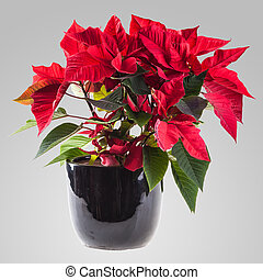 poinsetta - a poinsetta plant in a black flowerpot over a...