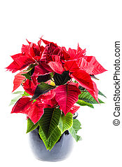 potted poinsetta - a poinsetta plant in a black flowerpot...