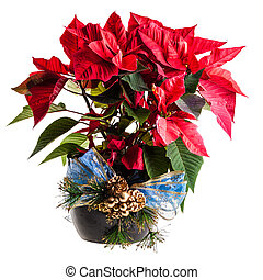 Ornated Poinsettia - a potted poinsettia ornated with a blue...