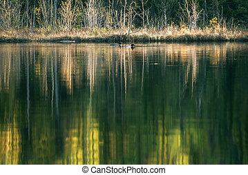 Loons with lake reflections - A mated pair of Common Loons...
