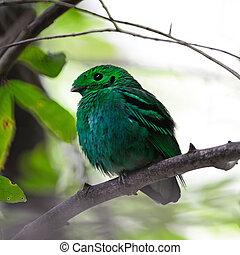 male Green Broadbill - Colorful green bird, a male Green...