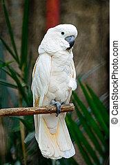 Moluccan, cockatoo