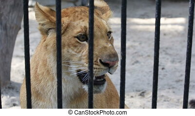Liger yearling at the zoo
