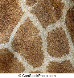 Giraffe skin - Genuine leather skin of Giraffe Girafta...