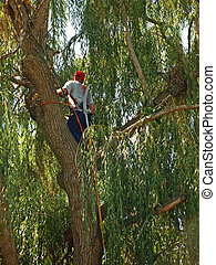 An Arborist Trimming a Very Green Willow Tree