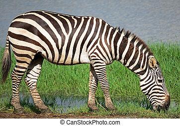 Common Zebra or Burchell's Zebra (Equus burchelli)
