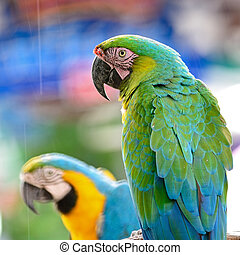 Harlequin Macaw - Colorful Macaw, Harlequin Macaw aviary,...