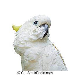 enxôfre-sulphur-crested, cockatoo, isolado