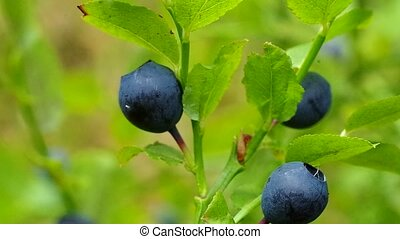 Bilberry berries in growing in wood