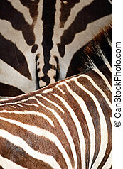 Common Zebra skin - Animal skin, Common Zebra or Burchell's...
