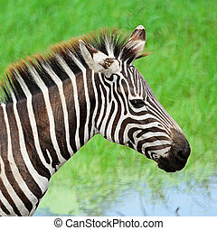 Common Zebra - Face of Common Zebra or Burchell's Zebra...