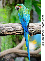 Harlequin Macaw - Colorful of Harlequin Macaw aviary, back...