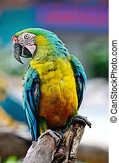 Harlequin Macaw - Colorful of Harlequin Macaw aviary, breast...