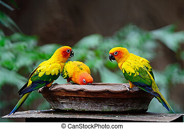 Sun Conure - Colorful yellow parrot, Sun Conure Aratinga...
