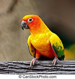 Sun Conure - Colorful yellow parrot, Sun Conure (Aratinga...