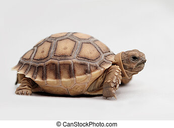 African Spurred Tortoise (Sulcata) - African Spurred...
