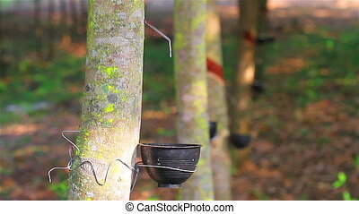 Rubber tree - Tapping latex from a rubber tree in Thailand