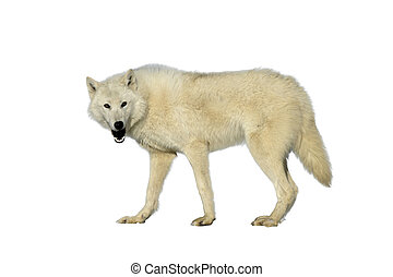 Arctic wolf, Canis lupus arctos, single mammal on snow,...