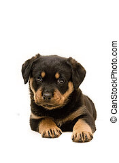 Rottweiler Puppy - Cute six week old Rottweiler Puppy...