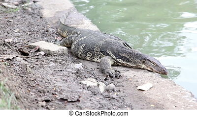 Close-up of water monitor or Varanus salvato crawl beside...