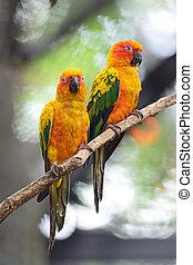 Sun Conure - Colorful of two yellow parrots, Sun Conure...
