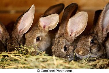 農場, 繁殖, 兔子, 年輕, 動物