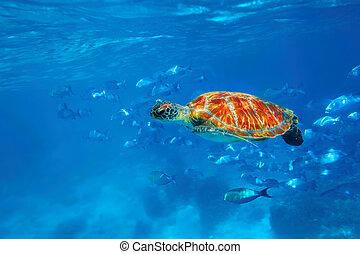 Hawksbill Turtle - Hawksbill Sea Turtle in blue ocean at...