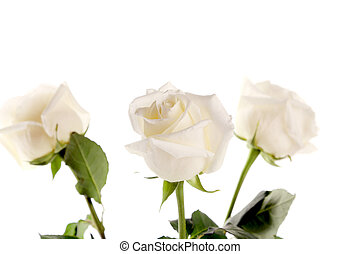 Three white roses on a white background