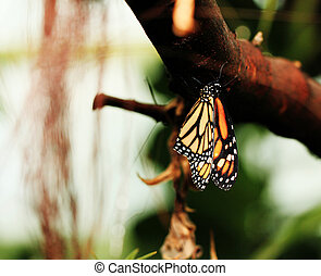 Monarch butterfly resting on branch