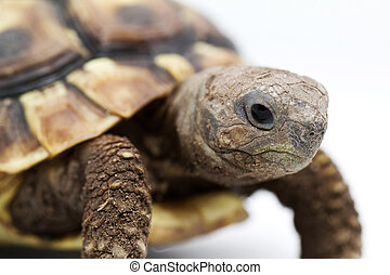 Young turtle on a white background - Testudo hermanni...