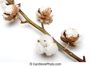 Cotton plant with bolls isolated on a white background