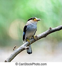 female Silver-breasted Broadbill - Beautiful female...