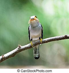 male Silver-breasted Broadbill - Beautiful male...