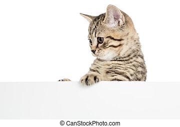 スコットランド, イギリス, ネコ, の後ろ, 子ネコ, 旗