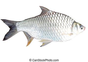 The Barb of Cyprinidae fish. - The Barb of Cyprinidae fish...