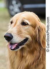 purebred golden retriever dog sitting on grass