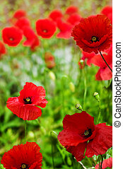 Poppies  - Poppy flowers (Remembrance Day)
